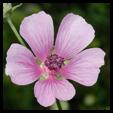 Althea Officinalis növény kivonat