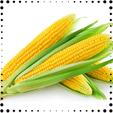 Kukorica proteinek