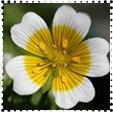 Fehér tajtékvirág